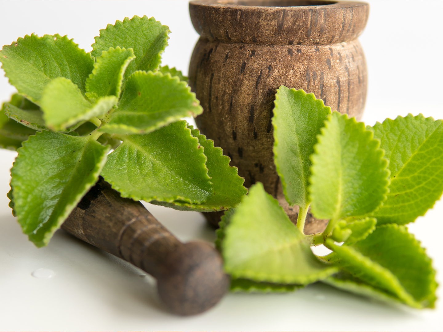 Indian Borage – an effective home remedy for common ailments